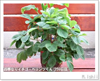 ペット栽培II(四季なりイチゴ)130