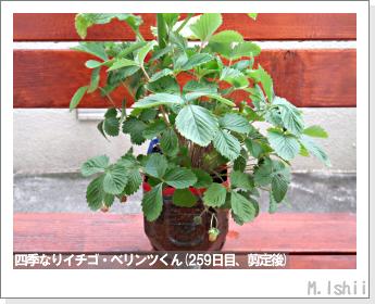 ペット栽培II(四季なりイチゴ)131