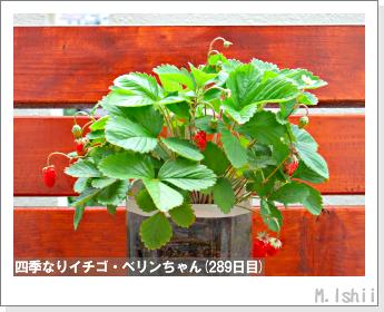 ペット栽培II(四季なりイチゴ)134