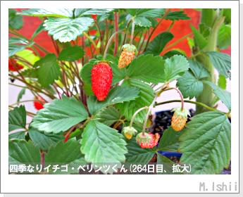 ペット栽培II(四季なりイチゴ)137