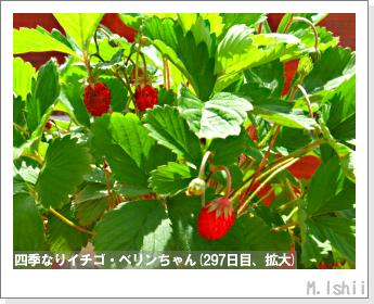 ペット栽培II(四季なりイチゴ)141