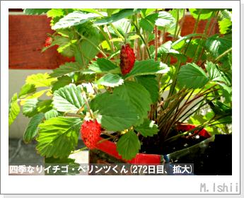 ペット栽培II(四季なりイチゴ)143