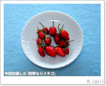 ペット栽培II(四季なりイチゴ)144