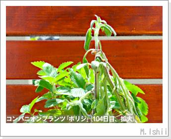 ペット栽培II(四季なりイチゴ)145