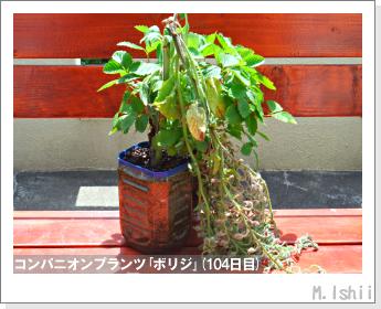 ペット栽培II(四季なりイチゴ)146