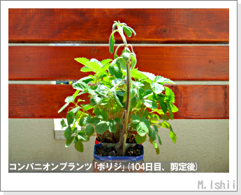 ペット栽培II(四季なりイチゴ)147