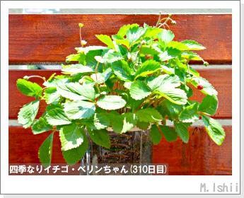 ペット栽培II(四季なりイチゴ)149