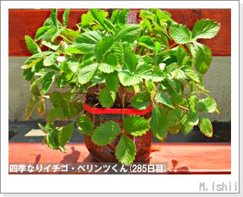 ペット栽培II(四季なりイチゴ)150
