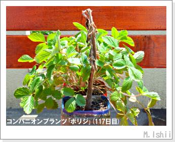 ペット栽培II(四季なりイチゴ)151
