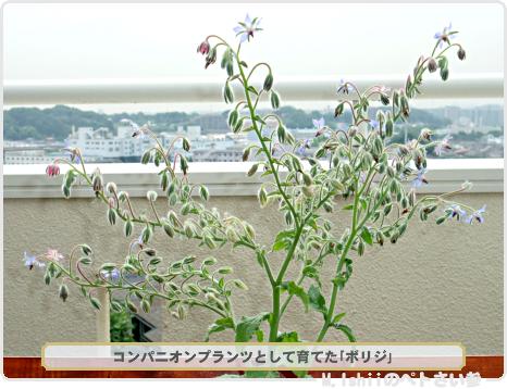 四季なりイチゴ03