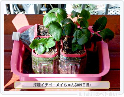 ペトさい(採種イチゴ)044
