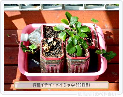ペトさい(採種イチゴ)047