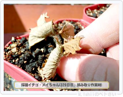 ペトさい(採種イチゴ)050