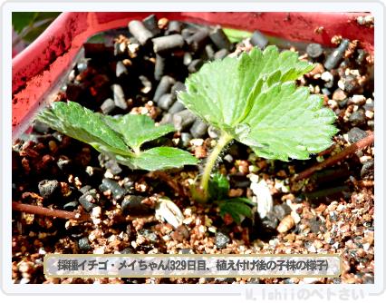 ペトさい(採種イチゴ)051
