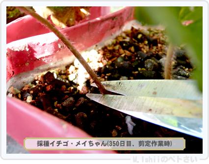 ペトさい(採種イチゴ)055