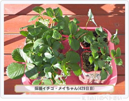 ペトさい(採種イチゴ)079