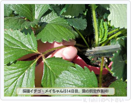 ペトさい(採種イチゴ)107