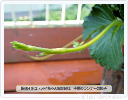 ペトさい(採種イチゴ)112