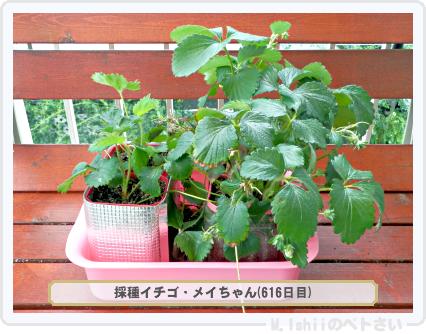 ペトさい(採種イチゴ)177