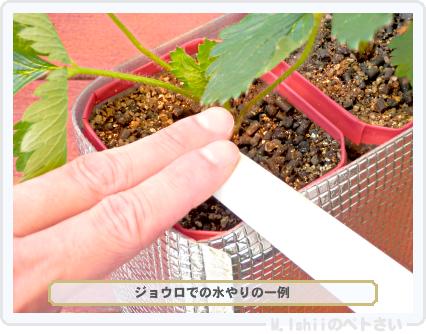 ペトさい(採種イチゴ)204