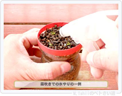 ペトさい(採種イチゴ・改)029