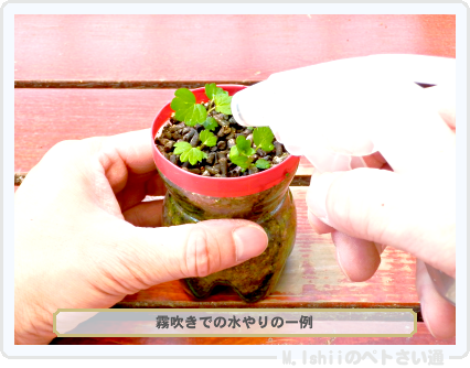 ペトさい(採種イチゴ・改)033