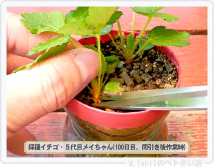 ペトさい(採種イチゴ・改)040