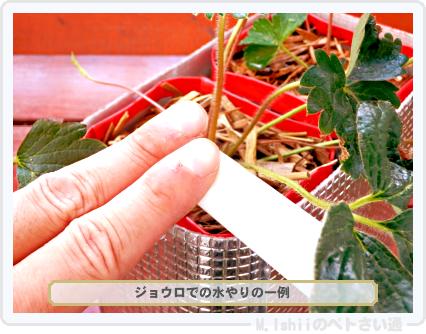 ペトさい(採種イチゴ・改)082