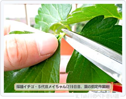 ペトさい(採種イチゴ・改)092
