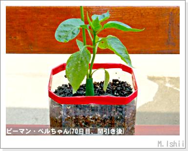 ペット栽培III(ピーマン)29