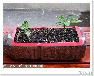 ペット栽培III(ピーマン)33