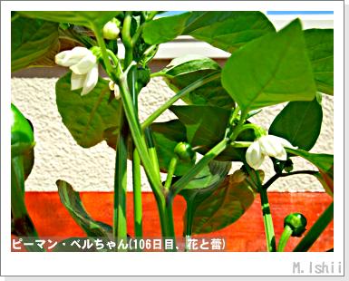 ペット栽培III(ピーマン)49