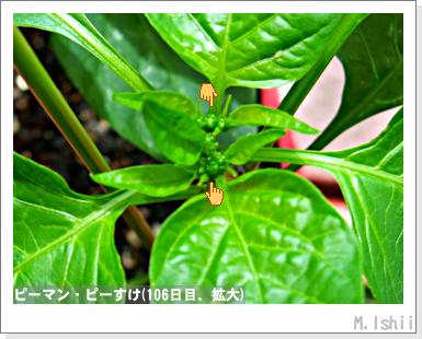 ペット栽培III(ピーマン)52
