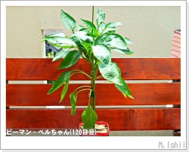 ペット栽培III(ピーマン)57