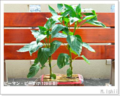 ペット栽培III(ピーマン)59