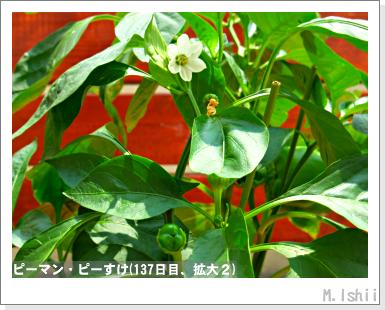 ペット栽培III(ピーマン)65