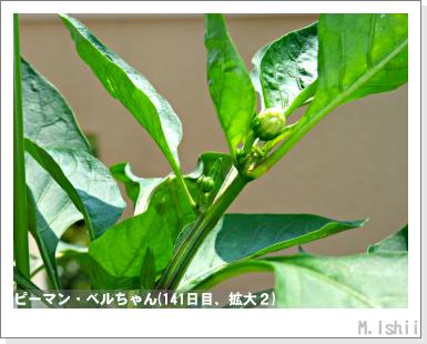 ペット栽培III(ピーマン)70