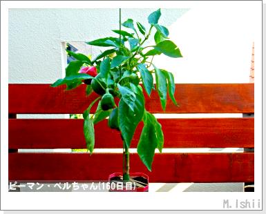 ペット栽培III(ピーマン)78