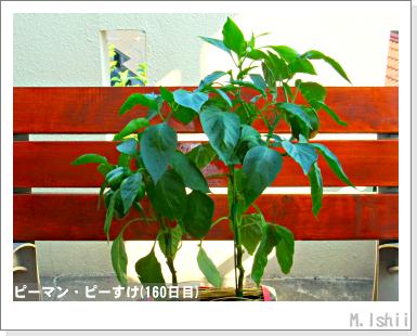 ペット栽培III(ピーマン)80