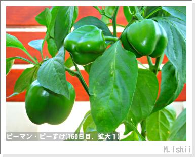 ペット栽培III(ピーマン)81