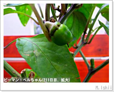 ペット栽培III(ピーマン)100