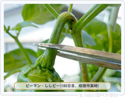 ペトさい(ししピー)43