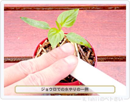 ペトさい(こどもピーマン)18