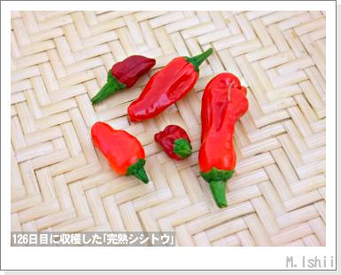 ペット栽培III(シシトウ)37