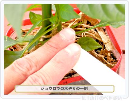 ペトさい(内藤とうがらし)44