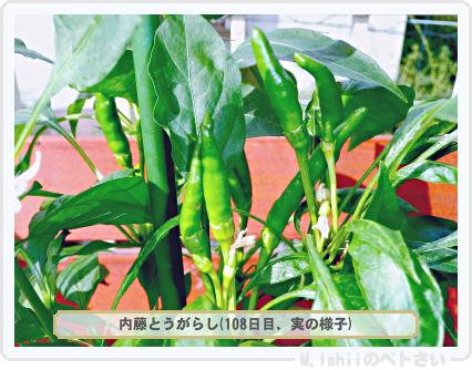 ペトさい(内藤とうがらし)63