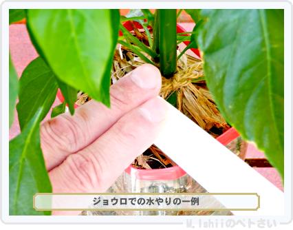 ペトさい(内藤とうがらし)65