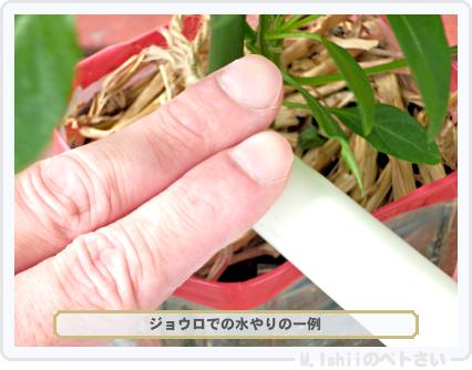 ペトさい(内藤とうがらし)69