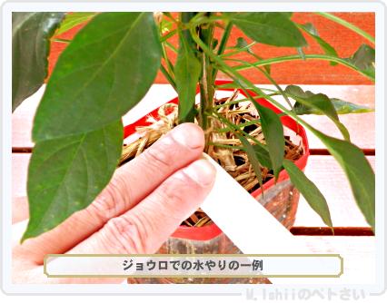 ペトさい(内藤とうがらし)79