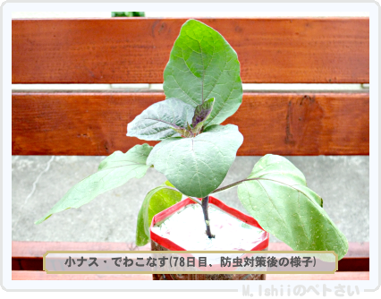 ペトさい(小ナス)25